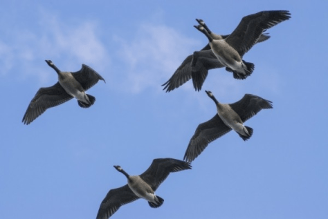 A Small Group Of Geese Pass Overhead Below a Deep Blue Sky. Photo by Doug Brown licensed by CC BY-NC-SA 2.0.