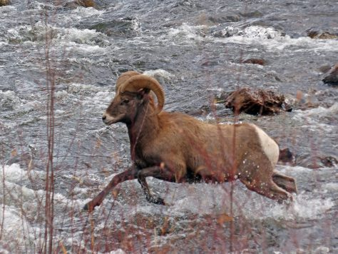 A Bighorn Sheep Ram Crosses the Frying Pan River near Basalt, Colorado in Bighorn Sheep Unit S44