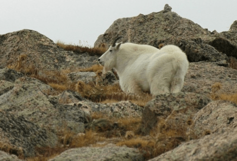 A big mature Mountain Goat stands broadside against the rucks above timberline.