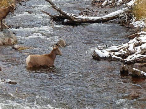 a female Bighorn sheep crosses the Frying Pan River not far from Aspen, colorado in bighorn sheep hunting unit S44