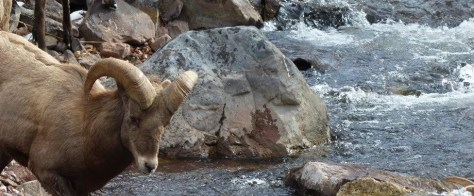 A Bighorn Ram prepares to jump in the Frying Pan River near Glewnwood Springs, colorado in Unit S44