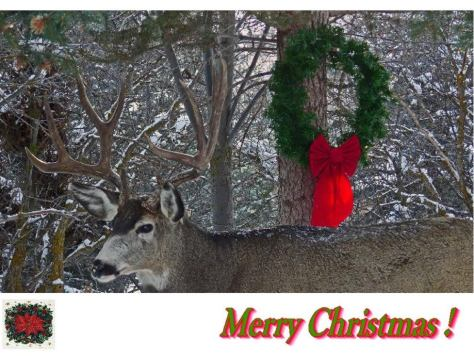 Big Mule Deer Buck Christmas Card With Christmas Wreath and Snow in Background in Colorado