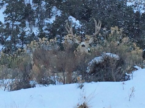 A Trophy Mule Deer Buck On High Alert While Quietly Feeding During A Colorado Winter Snowstorm. Photograph By Michael Patrick McCarty