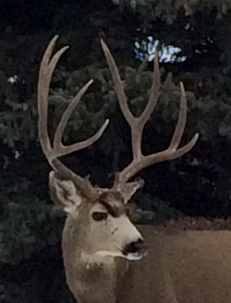 Closeup photo of a trophy mule deer buck