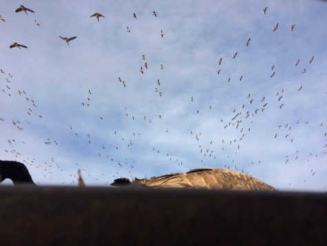 A large flock of Canada Geese circle the decoys above a pit blind in Northern Colorado