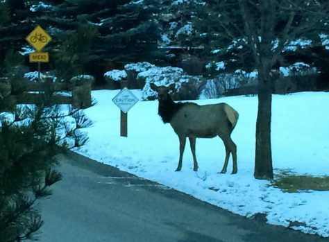 A cow elk prepares to cross the road next to a caution sign in the snow in Colorado