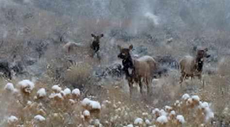 A small herd of cow elk weave in and out of the snow during a November Storm in the Rocky Mountains
