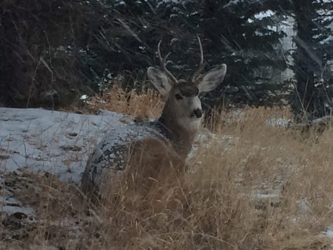A Young Mule Deer Buck With Fresh Snow On His Back, Patiently Waits Out A Fast Moving Storm In The Colorado Rockies. Photograph By Michael Patrick McCarty