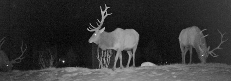 Three trophy bull elk caught on game camera in the fall snow of western Colorado