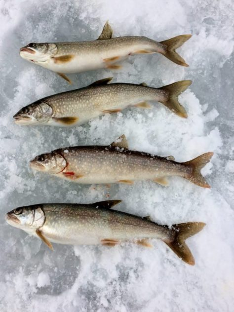 a photograph of four eating size lake trout on the ice of Reudi Reservoir near Basalt, Colorado