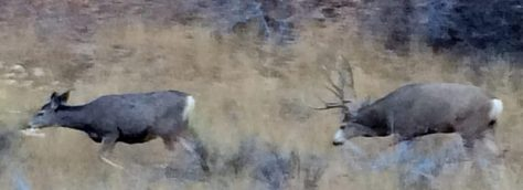 A mature mule deer buck trails a mule deer doe during the November breeding season in western colorado