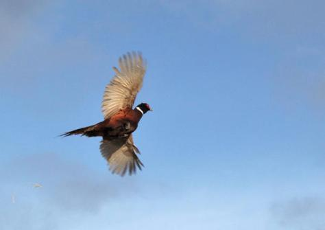 A rising ring-necked pheasant towers toward the sky