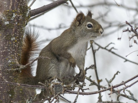 A Grey Squirrel On Alert Among The Branches of a Tree