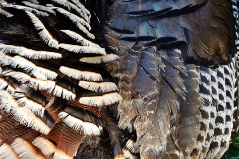 A Close-Up Photograph of the Wing and Body Feathers of A Male Wild Turkey