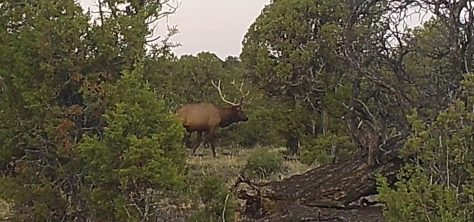 A Large Bull Elk crosses In Front Of a Game Camera In Northwestern Colorado During The Early Archery Season. Photograph by Michael Patrick McCarty