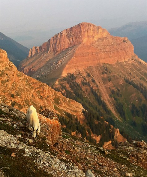 A Rocky Mountain Goat Grazes Peacefully On A Steep, Rocky slope, Somewhere in The Madison Range Of Southwestern Montana. Posted by Michael Patrick McCarty