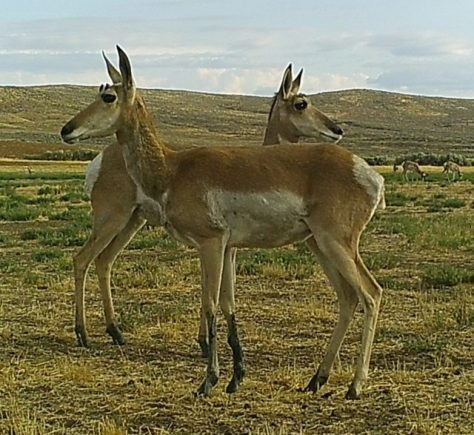 Two Doe Pronghorn Antelope Stand At Alert, On The Red Desert of Northern Colorado. Photography by Michael Patrick McCarty, While Hunting Near Baggs, Wyoming.