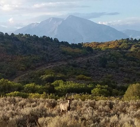 A Mule Deer Buck Stands Under Mount Sopris, Located In The Elk Mountains Range In The Maroon Bells-Snowmass Wilderness Near Carbondale, Colorado