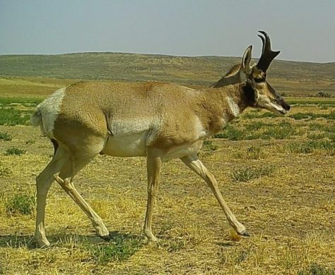 The Pronghorn (Antilocapra americana) One of The West's Most Iconic Animals. Photography by Michael Patrick McCarty