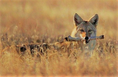 A Large Coyote Carries Away What Remains Of A Deer Leg In It's Jaws Through the Tall Grass
