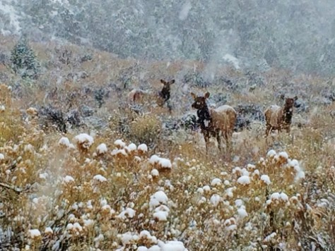 A Small Herd of Cow Elk On Alert During a Heavy Winter Snowstorm In Western Colorado. Photograph By Michael Patrick McCarty