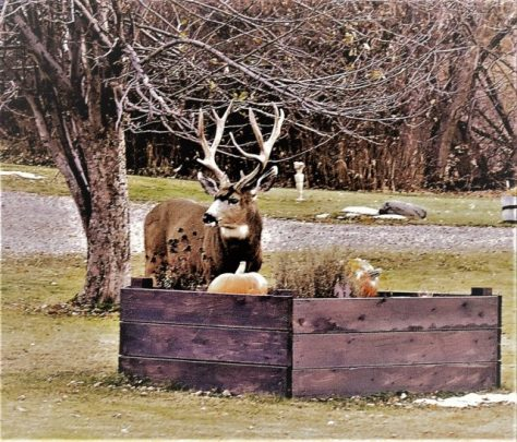 A Trophy Class Mule Deer Buck Poses On The Lawn Of A Suburban Neighborhood, Next To A Raised Flower Bed, With Pumpkins Left Over From Halloween. Photography By Michael Patrick McCarty