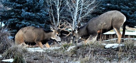 Two Mule Deer Bucks Lock Antlers In A Sparring Match During The Breeding Season In Colorado. Photograph By Michael Patrick McCarty