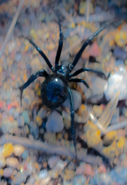 A Large Black Widow Spider Walks Hurriedly Through The Gravel In Western Colorado. Photograph By Michael Patrick McCarty