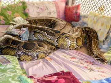 Burmese python, monastery in Bago