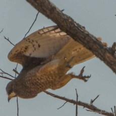 Hawk, Between Mount Victoria and Bagan
