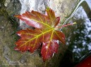 Scarlet Maple Leaf
