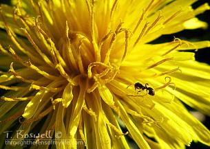 dandelion with ant
