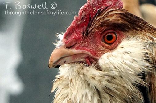 DSC05370-2-chicken-3x2-cp-sm-terry-boswell-wm