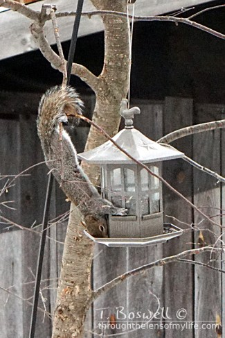 Squirrel stretching to eat from bird feeder.