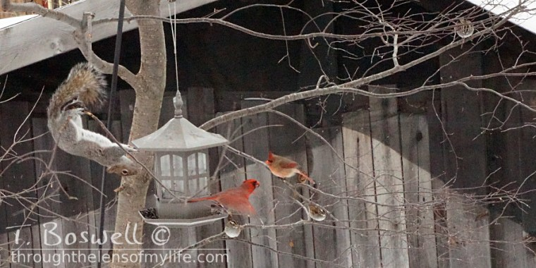 Squirrel acrobatics with a cardinal in flight.