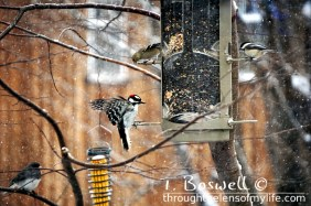 DSC06430-2-woodpecker-finch-feeder-snowing-3x2-terry-boswell-wm