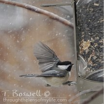 DSC06456-3-chickadee-feeder-snowing-1x1cp-terry-boswell-wm
