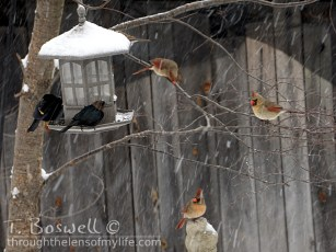 A cow bird sits on the feeder with three female cardinals and a red winged blackbird perched nearby.