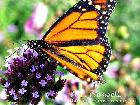 IMG-7992-3-orange-butterfly-4x3-terry-boswell-wm