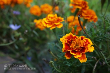 DSC02092-2cp-marigolds-orange-green-terry-boswell-wm