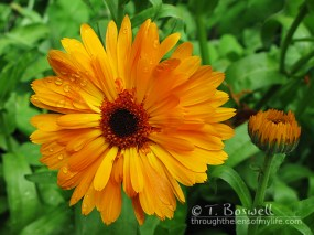 IMG_9918-2cp-orange-daisy-terry-boswell-wm