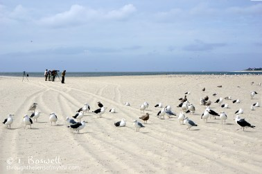 DSC03587-001-2-sea-gulls-terns-migrating-bird-watching-photographers-cape-may-terry-boswell-wm