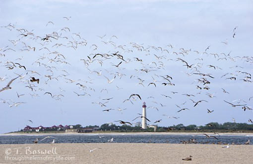 DSC03604-001-2-cape-may-light-house-sea-gulls-terry-boswell-wm