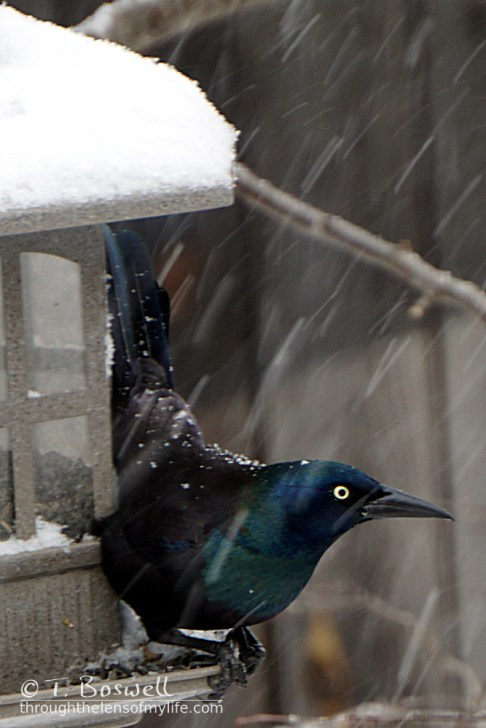 DSC06836 2cp2x3-grackles-at-feeder-snowing-wm