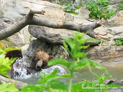 IMG_2888-2-4x3-bronx-zoo-bathing-bear-wm