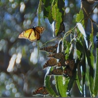 Layers of problems in regards to the human species and the Monarch Butterfly