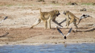 Two playing baboons and a restless pied lapwing
