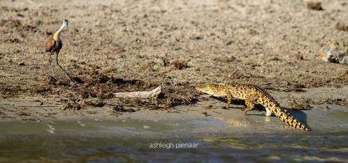 A tiny young crocodile approaching a jacana