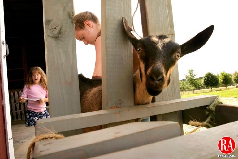 GOSHEN, CT - 28 JULY 2005 -072805JS01-- Emily Holt, 16, of Higganum trims the hooves of her 3 month old Alpine goat