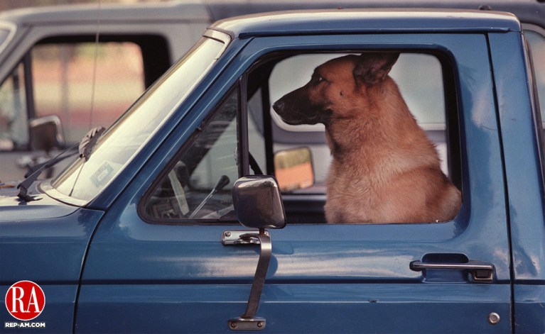 "WOLCOTT, CT 09/09/98--0909CA04.tif  ""Butch"", a german shepard and labrador retriever mix watches through the front windshield while behind the wheel of this Ford pickup truck in Peterson Park. Tom Pelkey from Bristol the owner, says Butch always travels with him in the front seat.--CRAIG AMBROSIO staff photo for REPORTERS NAME / STANDALONE PHOTO  (Filed in Scans/Scan-In)"